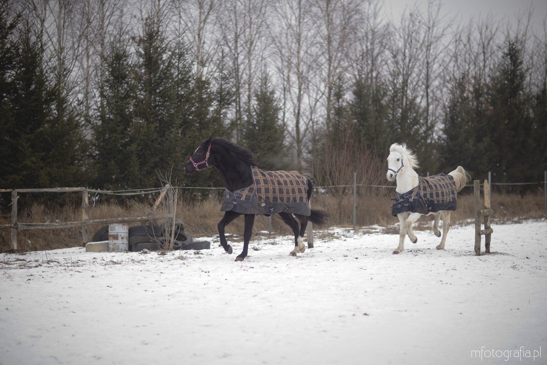 zdjęcia koni zimą