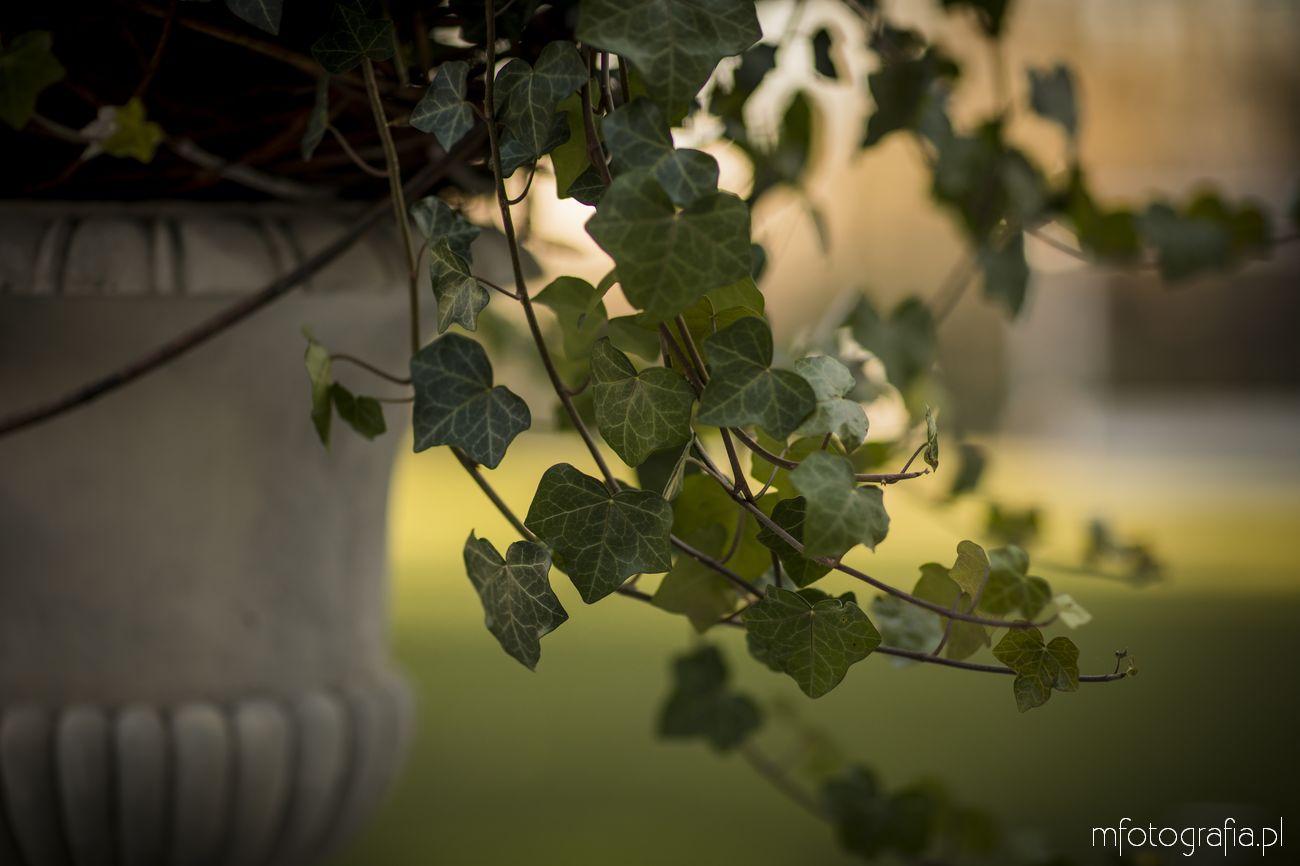 bluszcz w angielskim ogrodzie